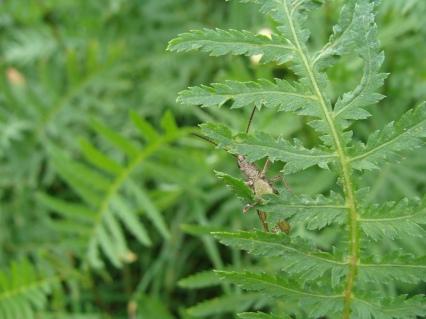 Grashüpfer versteckt sich im Rainfarn...